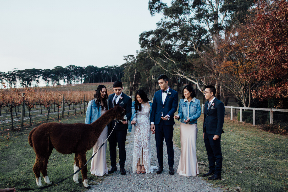 Centennial Vineyards wedding with bridal party and alpaca